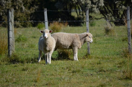 The Farm at Cape Kidnappers: Some friendly neighbors....