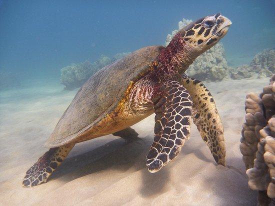 Maluaka Beach: Honu 4