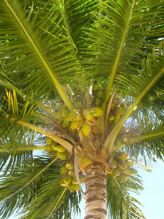 Seaspray Hotel: Coconut tree on beach of grounds
