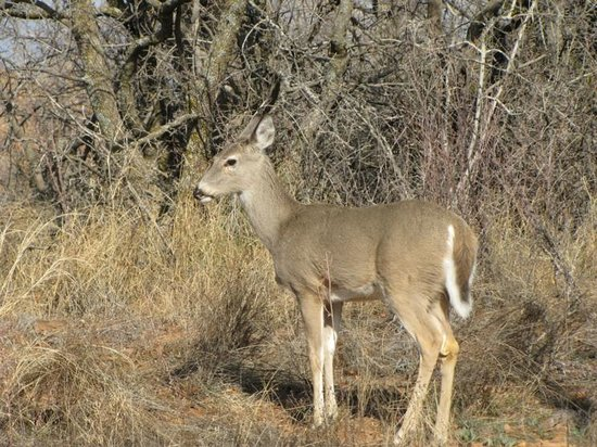 Quartz Mountain Nature Park: Friendly deer