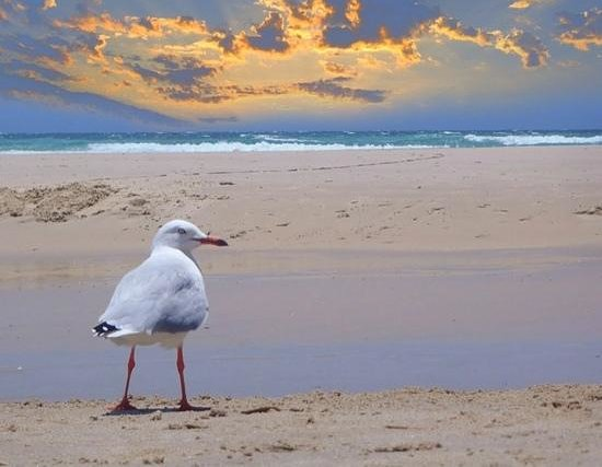 Kirra Beach: Seagulls