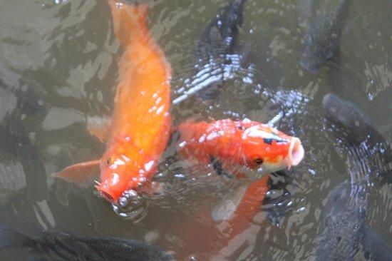 INTERCONTINENTAL Bali Resort: Koi fish