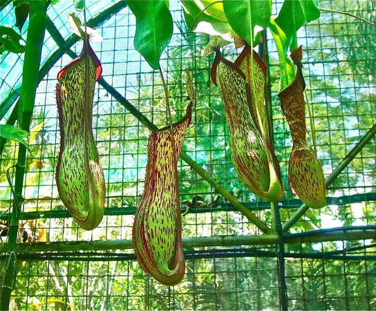 Cairns Region, Australien: Beautiful Tropical Pitcher Plants.