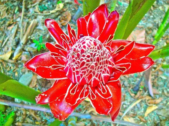 Cairns Botanical Gardens: Another Beautiful Ginger Plant Flower.