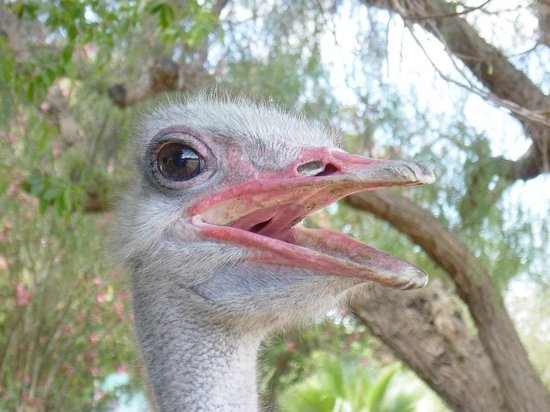 Blue Monkey Tours - Day Tours: Oudtshoorn, Ostrich capital of the world
