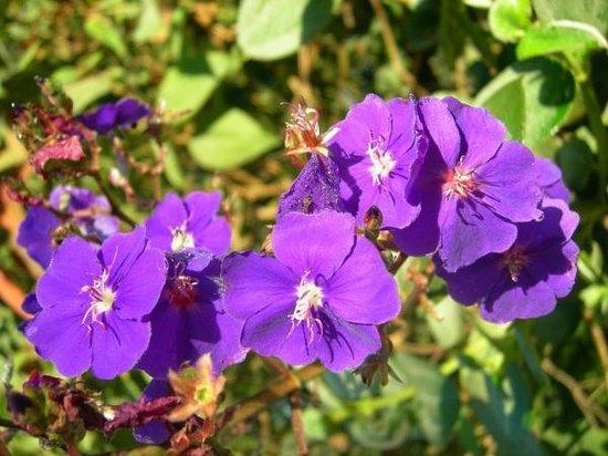 Mindorado: flor