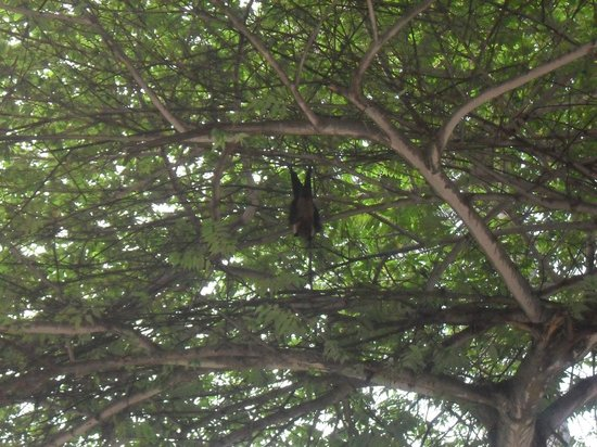 Baros Maldives: fruit bat, not interested in humans...
