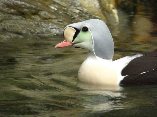 Biodôme de Montréal : Interesting arctic duck