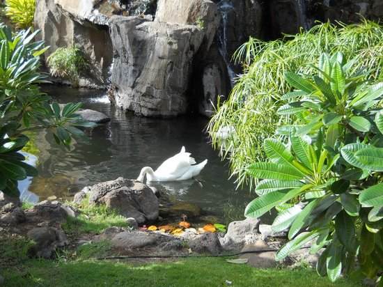 Westin Maui Resort And Spa: Koi, swan, flamingos and waterfalls across from check-in.