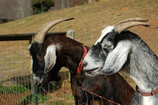 Compassionate Expressions Mountain Inn & Healing Sanctuary: The goats!
