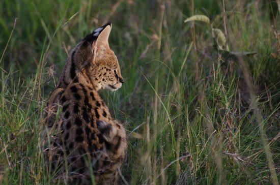 Mara Explorer Camp: Serval cat baby