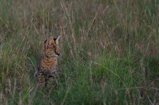 Mara Explorer Camp: Serval cat cub