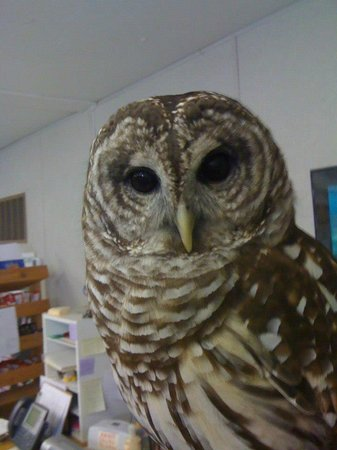 Oatland Island Wildlife Center: Owl at the center
