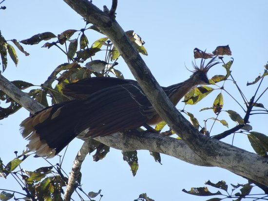 Muyuna Amazon Lodge: Hoatzin Bird
