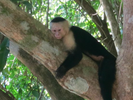 Tulemar Bungalows & Villas: Monkeys