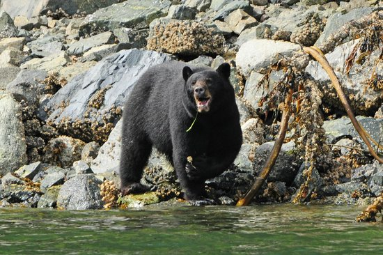 Glacier Bay's Bear Track Inn: Black Bear