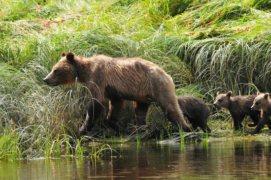 Glacier Bay's Bear Track Inn: Brown Bear and her cubs