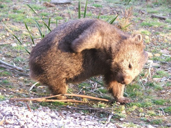 Freycinet Eco Retreat: Local Wombat