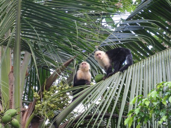 Falls Resort at Manuel Antonio: White Faced Capuchin Monkeys