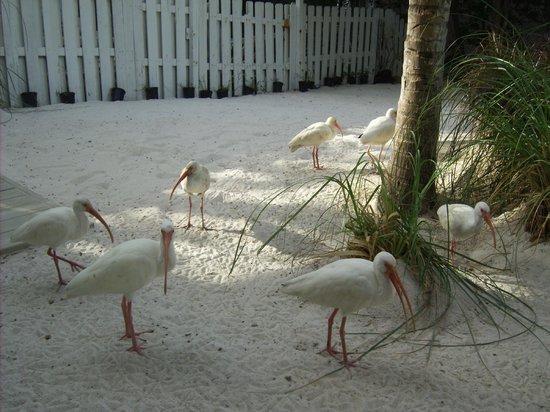 Ibis Bay Beach Resort: The ibis