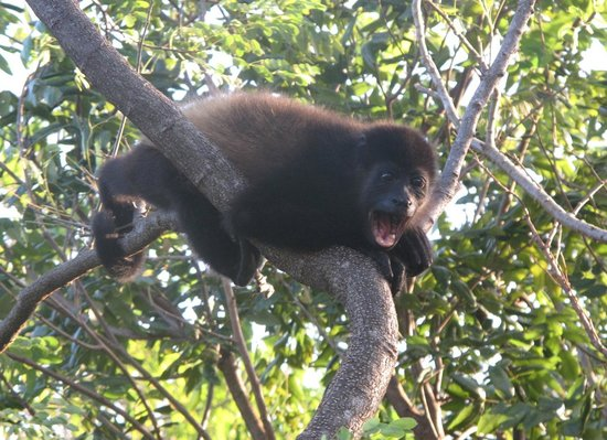 Empalme a Las Playas: howler monkey just outside our cabana!