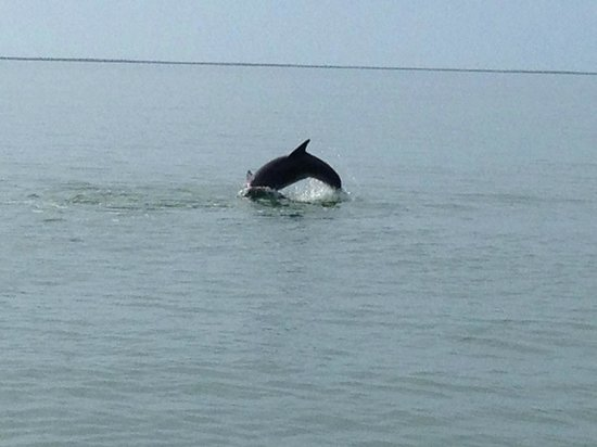Island Gypsy Excursions: Here is a dolphin from a separate pod having fun