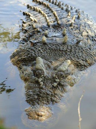 Koorana Crocodile Farm: Coccodrillo maschio adulto
