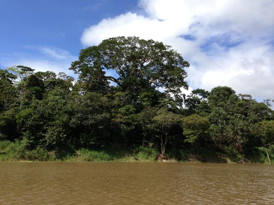Juma Amazon Lodge: The gigantic Sumauma tree from a distance