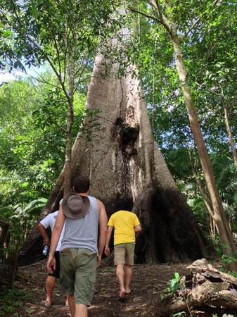 Juma Amazon Lodge: Approaching the gigantic Sumauma tree on one of the excursions