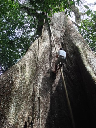 Juma Amazon Lodge: One of our guides climbing up a vine - then WE got to try