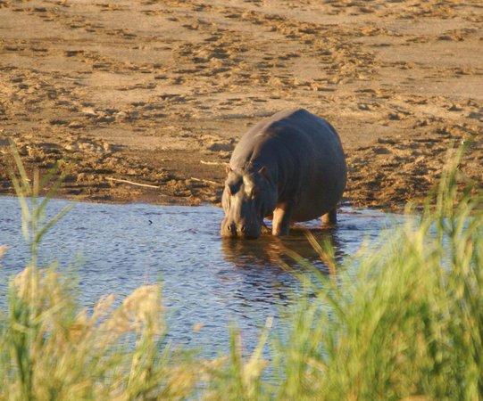 Crocodile Kruger Safari Lodge: Hippo seen from the lodge