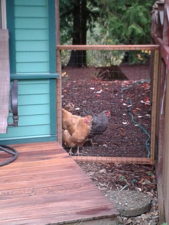 Tree Frog Night Inn: Chickens came to say Hello