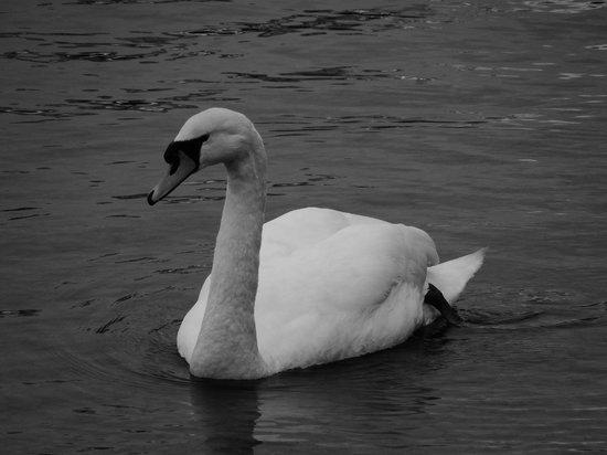 Amble House: Swan on the lake
