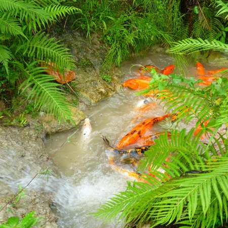 Saint Ann Parish, Jamaica: Koi in a pond enroute to the aviary