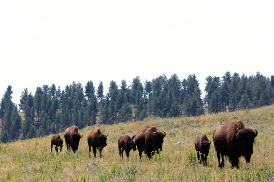 Custer State Park: Bison walking alongside the back roads