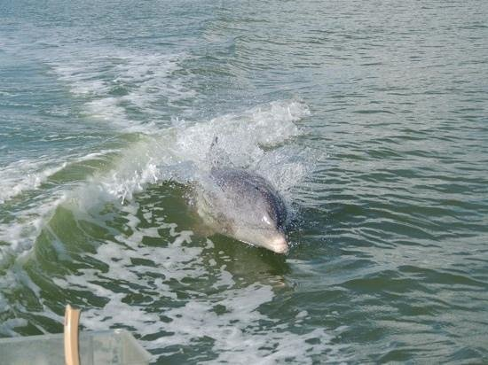 Marco Island Boat Tours: Dolphin playing in our boat waves