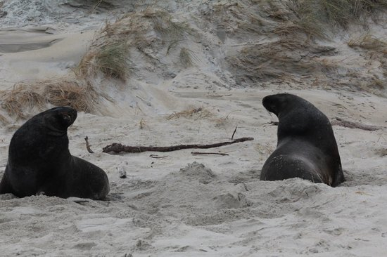 Back to Nature Tours: Hooker Sea Lions on Sandfly Beach