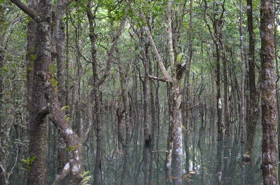 Dubuji Boardwalk : mangroves