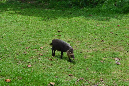 Kuching Wetlands National Park : Wild boar not so wild