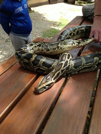 Lawnwood Snake Sanctuary : the python we got to hold