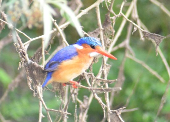 Woodbury Lodge: Malachite Kingfisher on the river