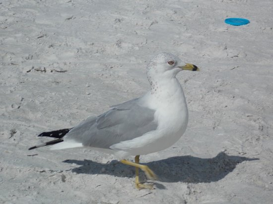 Tropical Beach Resorts: This Seagull was quite content to hang with us.