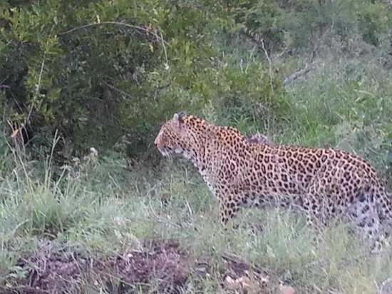 Londolozi Tree Camp: WOW!  Beautiful leopard!