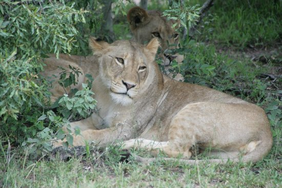 Londolozi Tree Camp: Young lioness