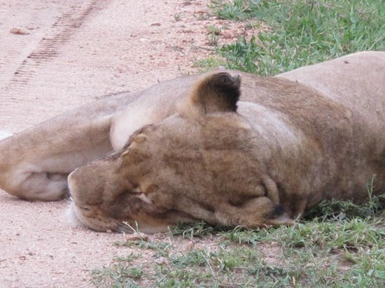 Londolozi Tree Camp: Sleeping lioness