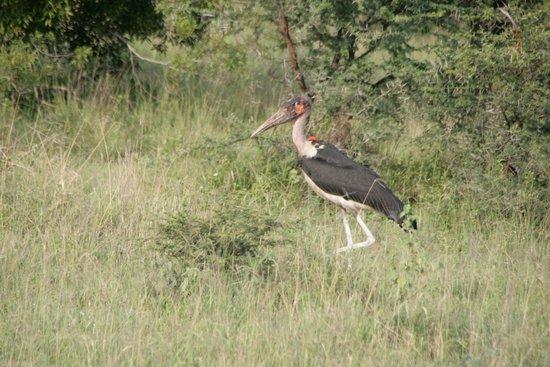 "Londolozi Tree Camp: Marabou stork (aka ""the undertaker"")"