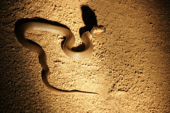 Londolozi Tree Camp: Hooded Mozambique Spitting Cobra (unbelievable!)