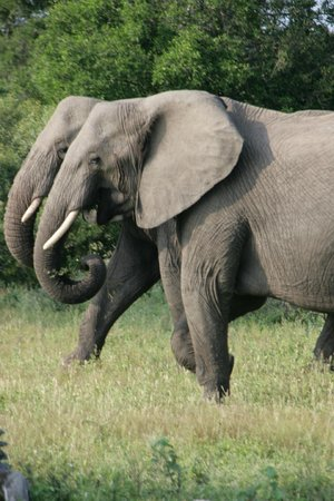 Londolozi Tree Camp: Elephants are very social,,,