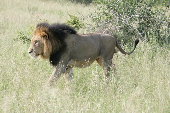 Londolozi Tree Camp: THE KING!