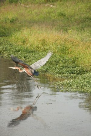 Londolozi Tree Camp: Goliath Heron in flight (world's largest bird)